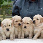 stunning-litter-of-golden-retriever-puppies-for-sa-5821f433e7f1d